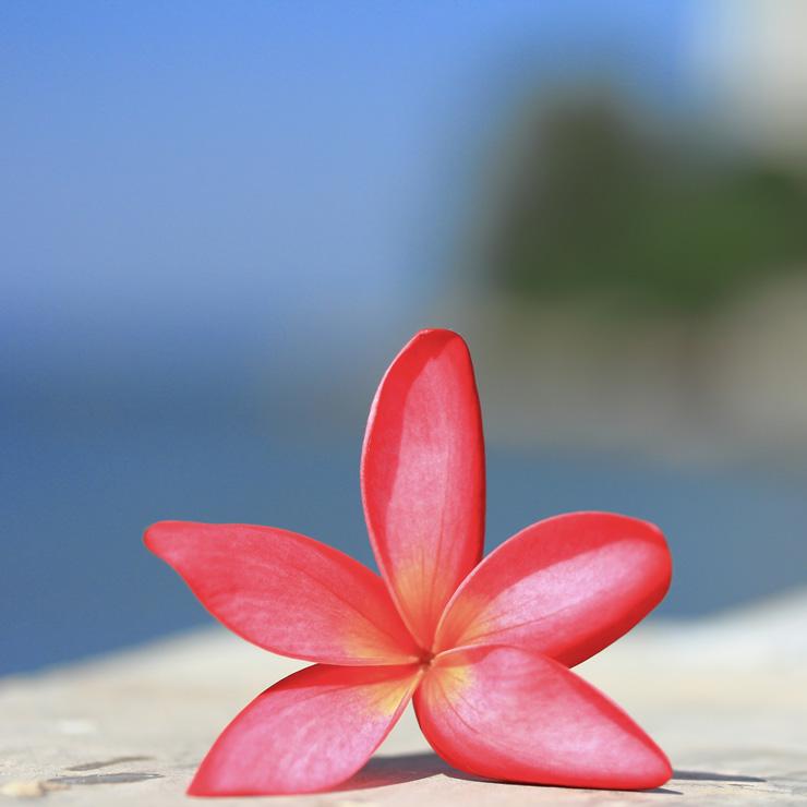 Loto, lotus