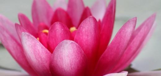 loto - lotus