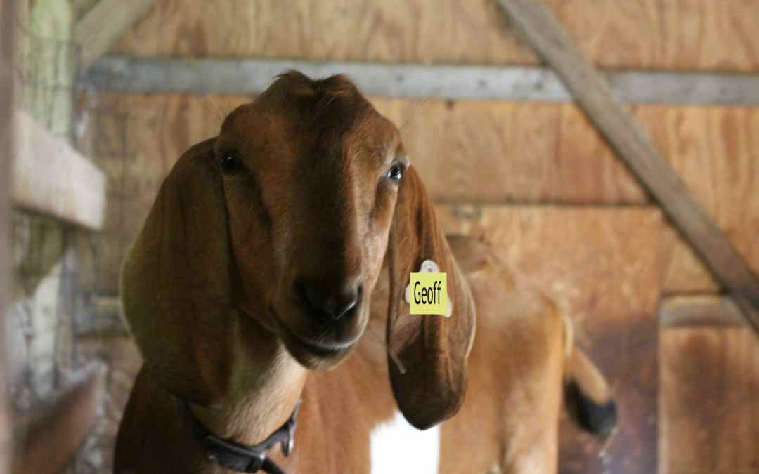 The Loaner Goat