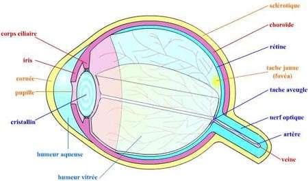 Oeil medix cours de m decine en ligne encyclop die m dicale - Couche du globe oculaire ...