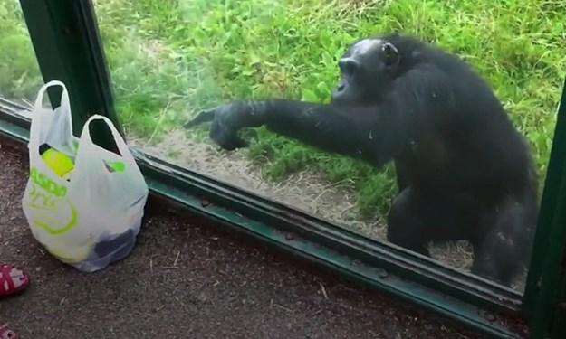 čimpanza traži sok