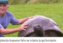gay kornjača