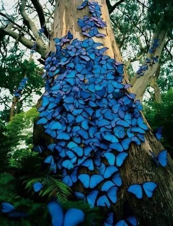Morfo leptiri, prepoznatljivi po svojim plavim krilima... žive u prašumama Amazonije...
