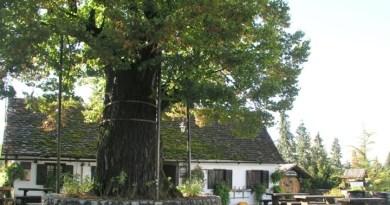 Gupčeva lipa nominirana za Europsko stablo 2019. godine, i vi možete dati svoj glas