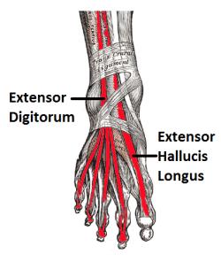 Extensor-Hallucis-Longus