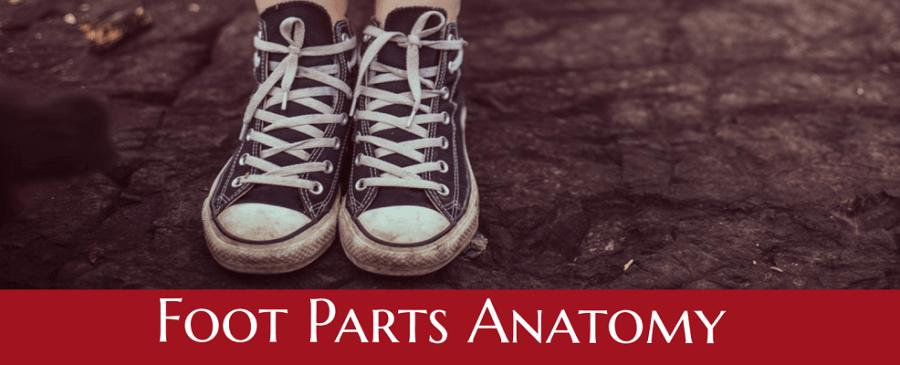 parts of the foot bones