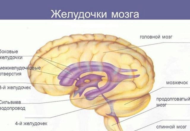 Анатомия структур мозга