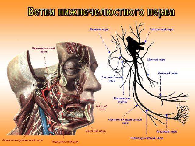 Ветви нижнечелюстного нерва