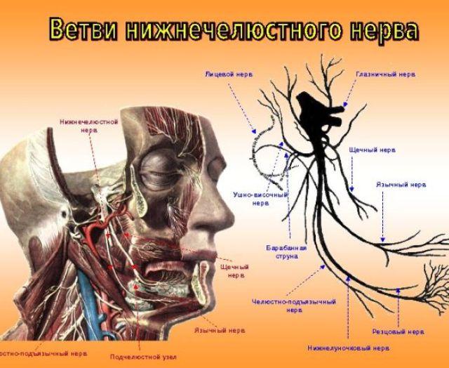 анатомия мозолистое тело