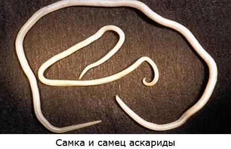 Самка и самец аскариды, фото