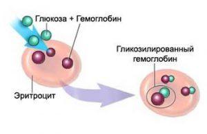 синтез глюкозы и гемоглобина