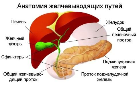 Анатомия желчевыводящих проток