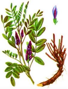 Лакрица – это универсальная трава, которая применяется практически везде