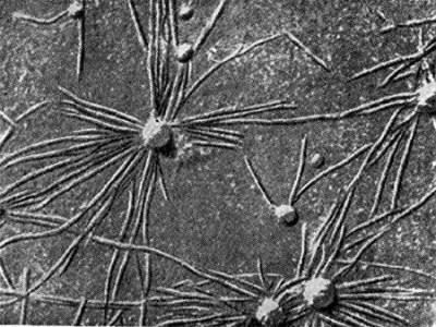 клубеньковые бактерии