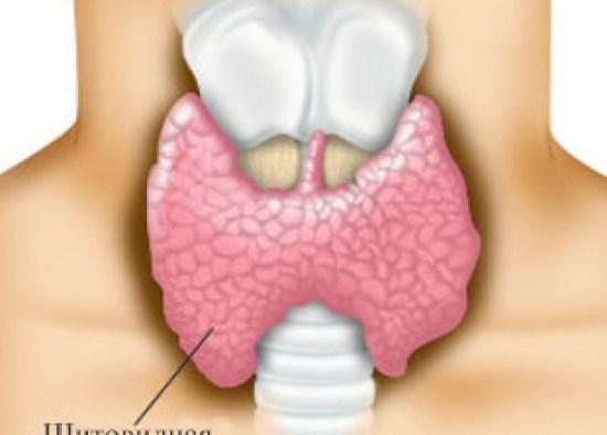 Щитовидная железа: строение в норме (размеры, узлы)
