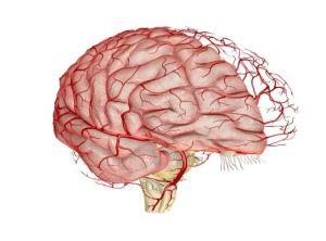 Сосудистая сетка мозга