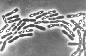 концевое расположение споры Bacillus subtilis