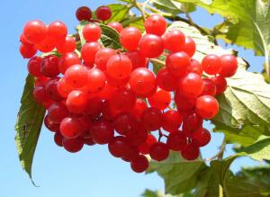 Наиболее действенным средством для лечения укашля является чай из ягод калины