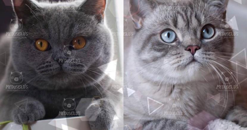 Hennerdals Gaia x Meduseld's Essing väntar kattungar