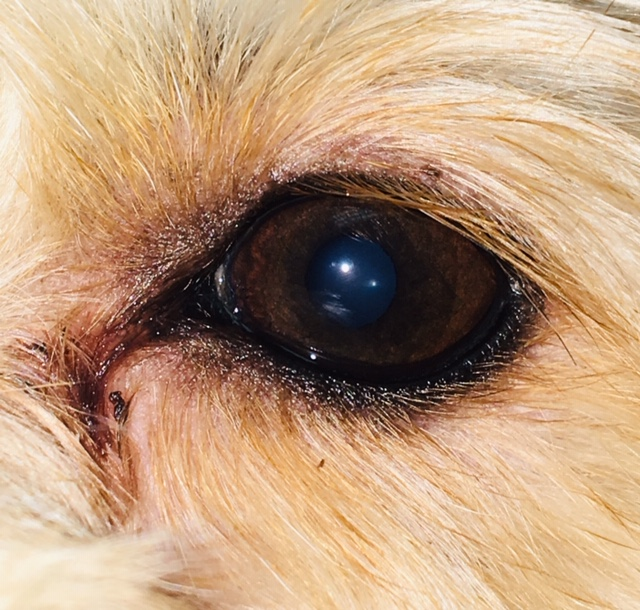 What Is Tear Staining In Dogs How Do I