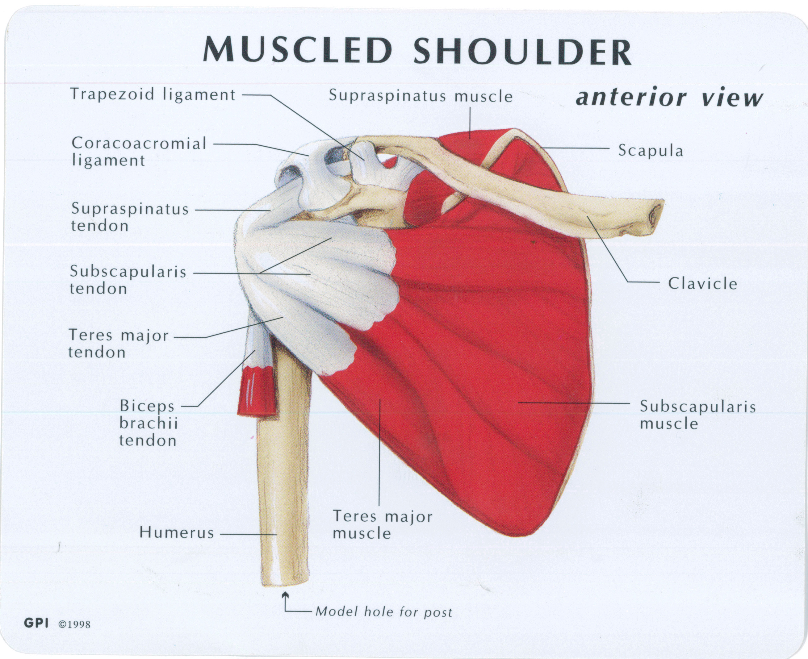 Muscled Shoulder Joint Model