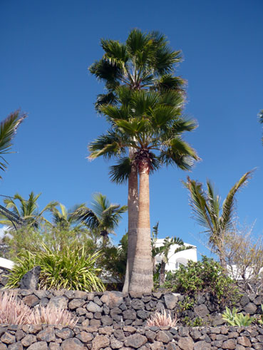 Palmen von Del Carmen