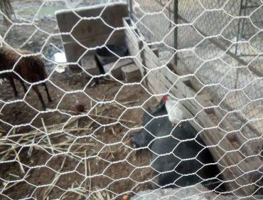 09 En er zijn ook nog een varken, kippen en schapen