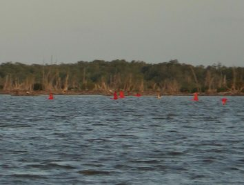 19 Rode ibissen