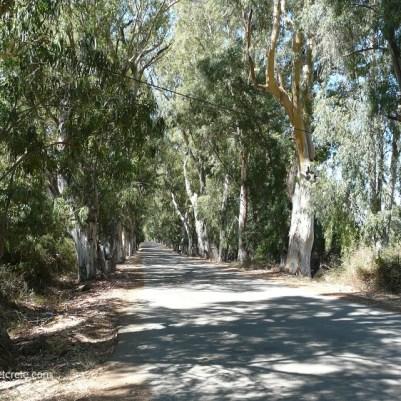 Die Eukalyptus Allee in Georgioupolis