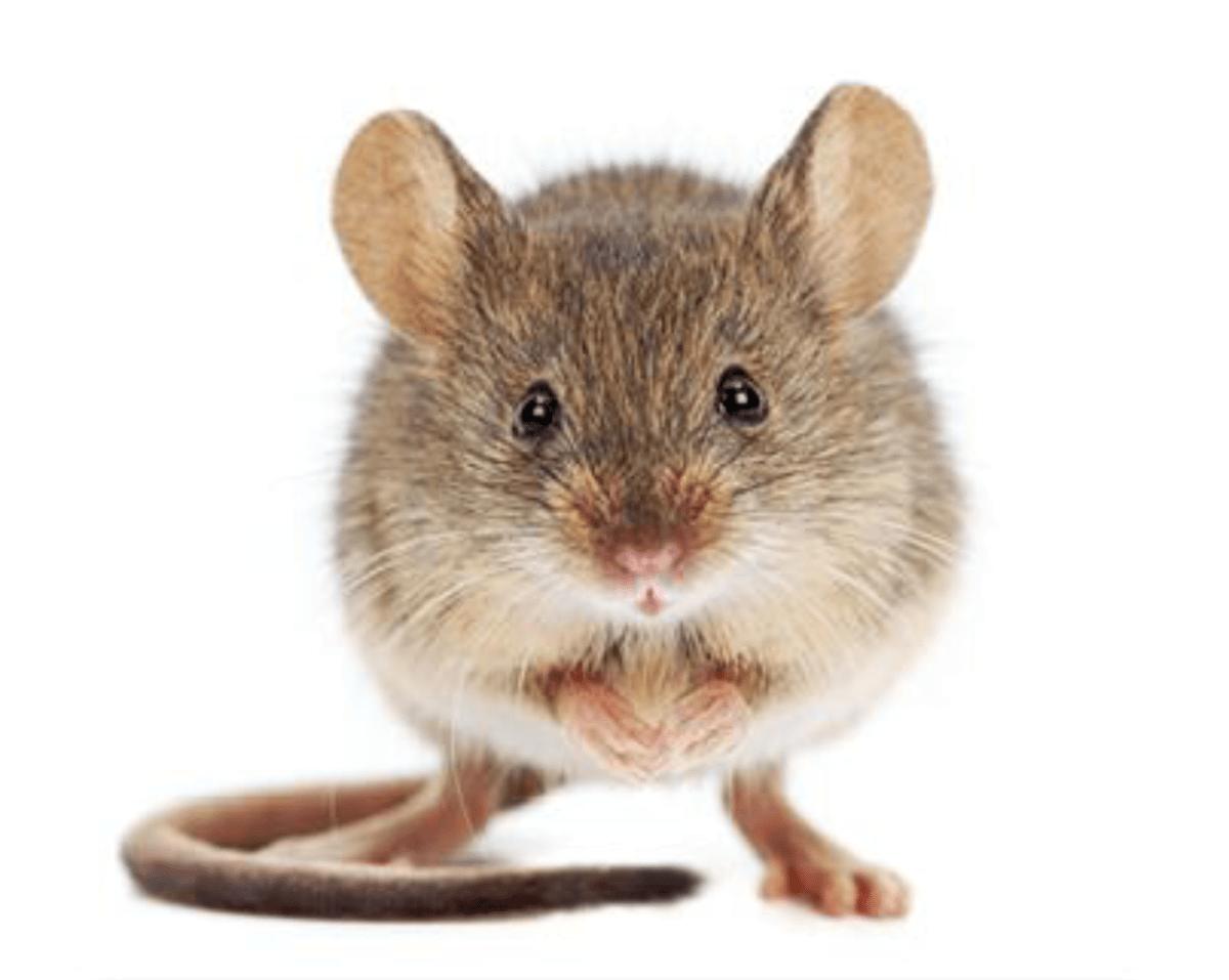 10 dingen die je moet weten over muizen