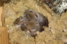 nest met jonge muizen