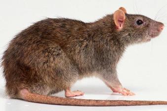 een bruine rat onderdeel van een rattenplaag