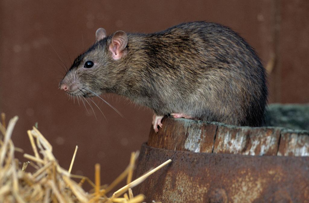 Hoe herken ik een muizen of ratten probleem?