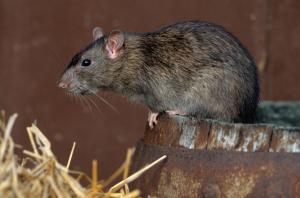 bruine rat die bestrijd moet worden