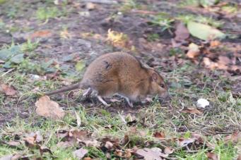 een rat bij een kippenhok waar rattenbestrijding voor ingezet moet worden