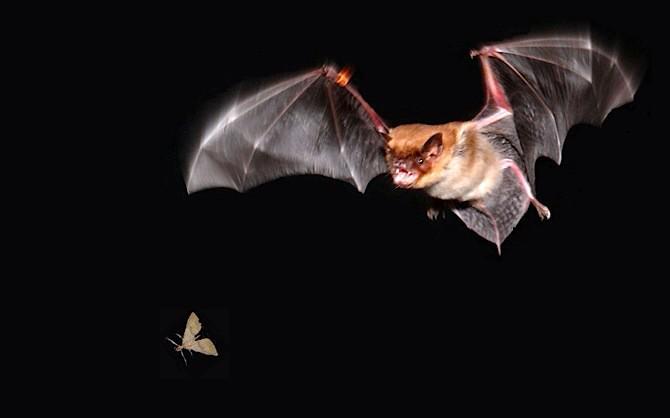 Overlast van vleermuizen voorkomen en bestrijden