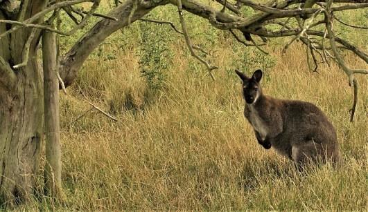 Australie et ses kangourous