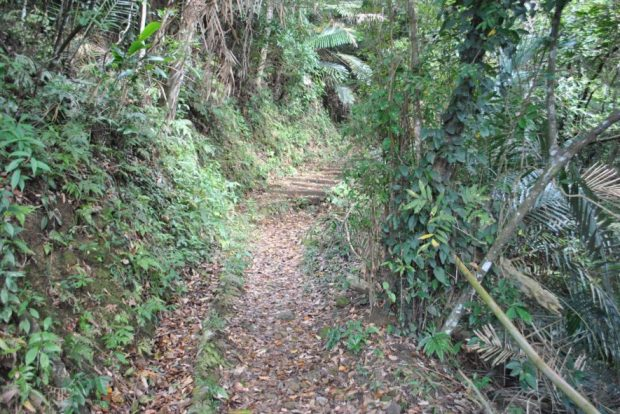 a walking trail on Lion's Head Mountain covered in brown leaves and surrounded by ferns and vines