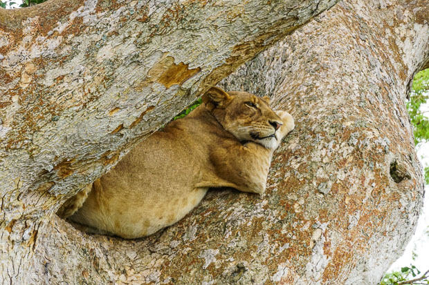 a lion lying between the thick branches of fig trees in Ishasha, Queen Elizabeth National Park, Uganda