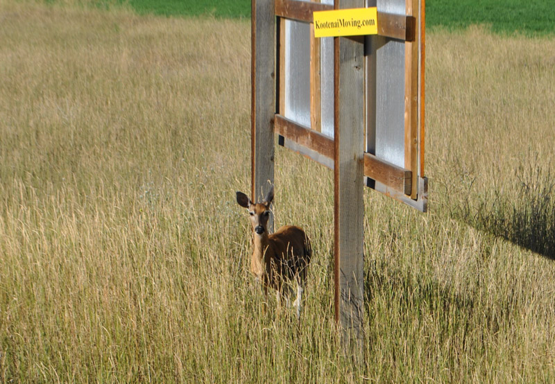 a deer partially hidden in the yellow grass beside a sign in the southern interior of BC
