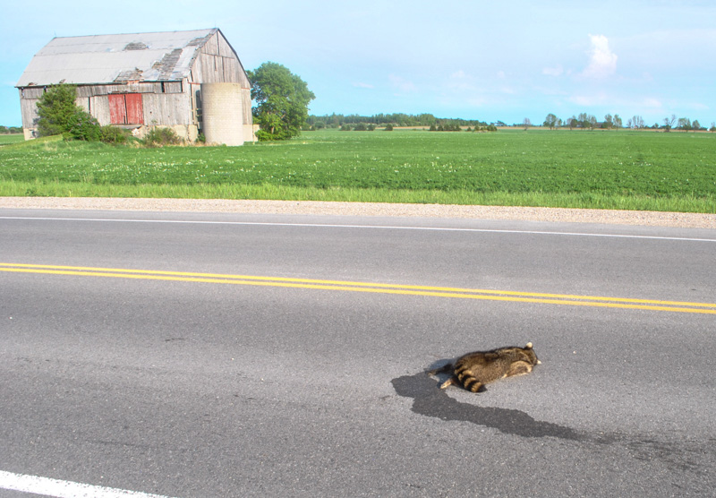 roadkill racoon on a road in sunny rural ontario