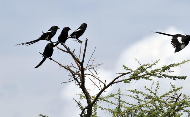 Magpie Shrike (Lanius melanoleucus)