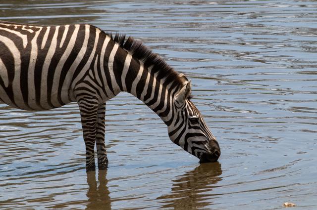 Zebra dinking - Safari - Serengeti