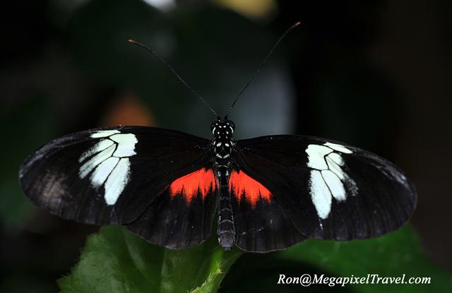 DSC_9205-Mexican-Longwing