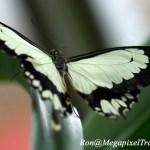 _LND2138-Mocker-Swallowtail