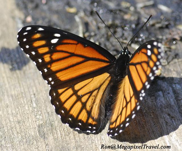 _LND3086-Viceroy-Butterfly