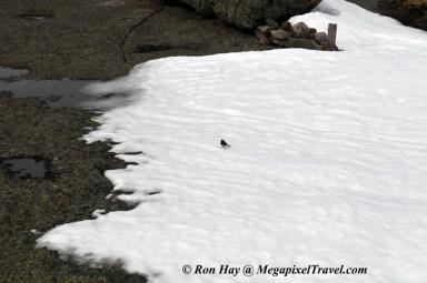 RON_3330-Mt-Marcy-junco