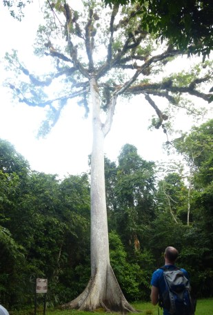 the ceiba tree -- it's huge and symbolic