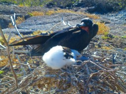 nesting frigate bird and chick