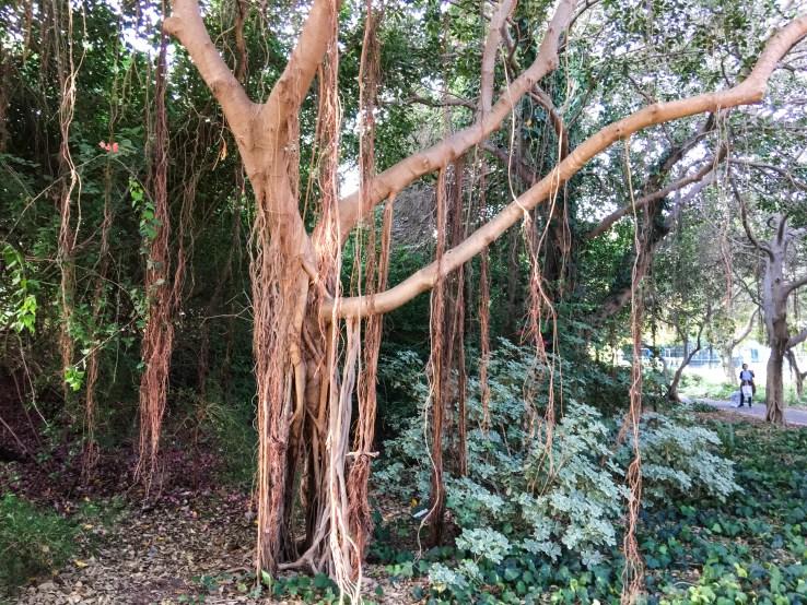 Politis Park Tree, Ramat Aviv, Rick meghiddo